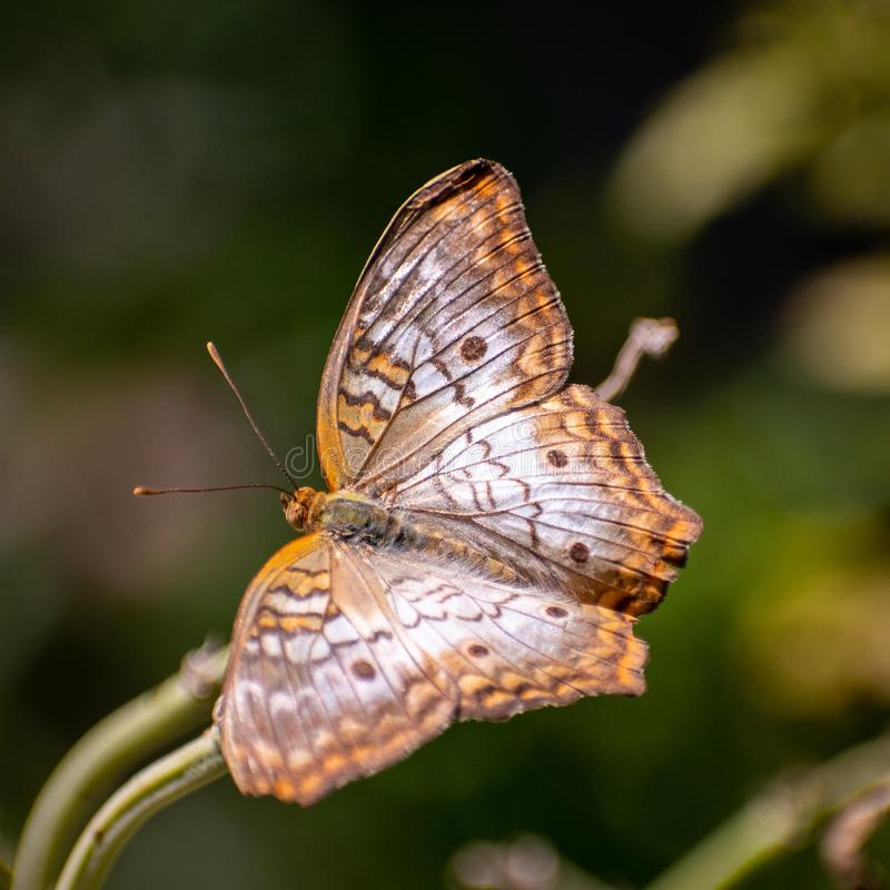 Brown and orange butterfly sitting stock image