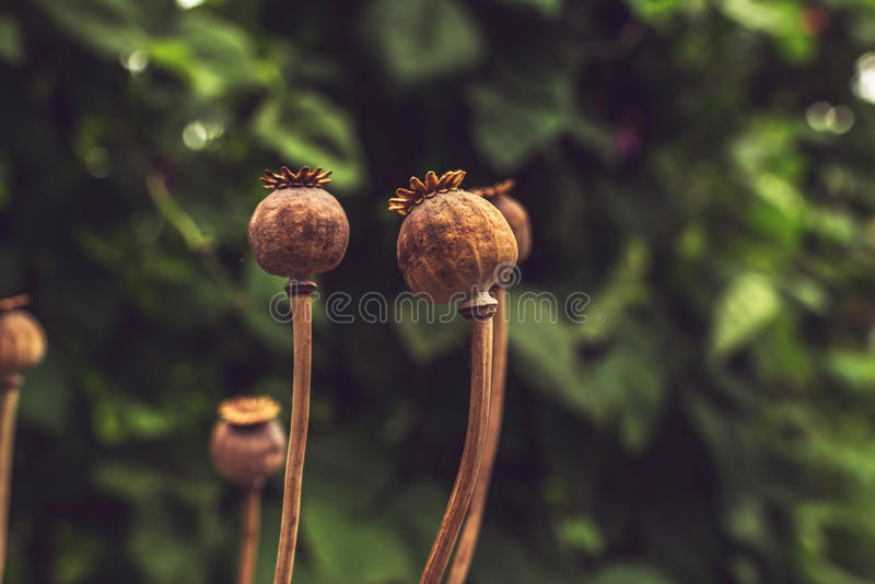 Close-up of Brown Poppy Seed Heads with Blurred Green Leafs in B stock photo