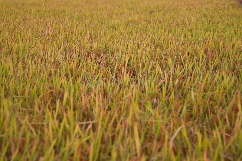 Close up of brown rice crop ready for harvesting with defocused blur background - agricultural concept. Close up of brown rice crop ready for harvesting with stock photography