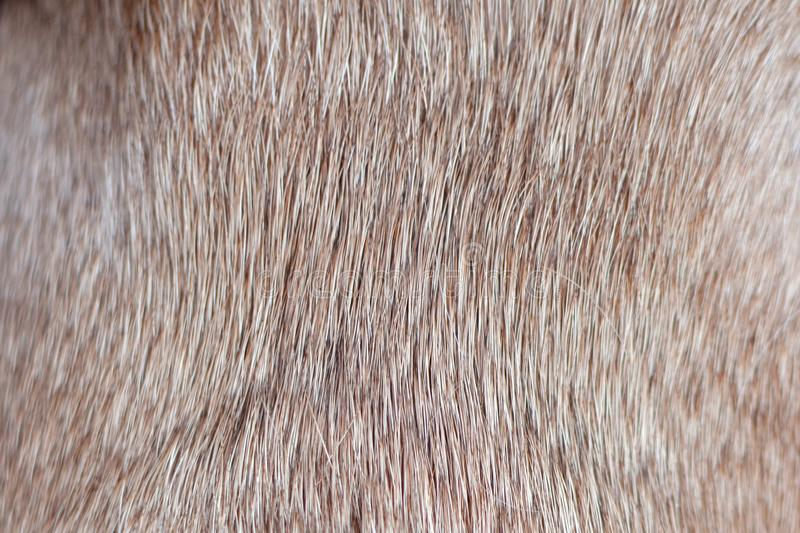 Close up of brown short haired healthy dog fur without undercoat. Detail stock image