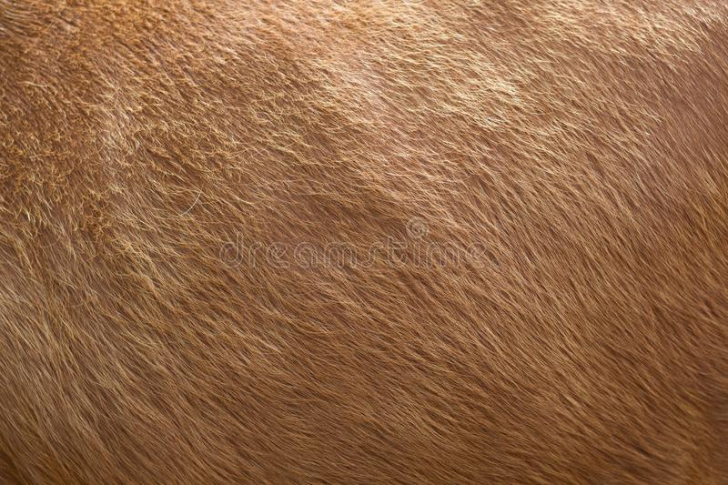 Close up of brown soft wool texture background. Natural fluffy fur of sheep, cow or calf. Warmth and comfort. stock photography