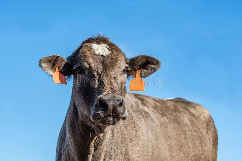 Close up of brown and white crossbred cow with blue background. Close up of a brown and white crossbred beef cow with a clear blue sky background from a low royalty free stock images