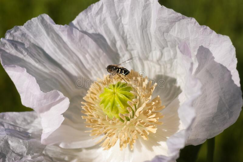 Close-up of a brown and yellow insect on a beautiful white poppy stock image