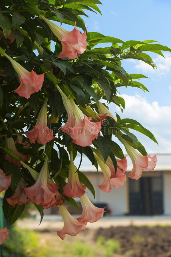 Brugmansia, dhatura flowers hanging on tree royalty free stock photo