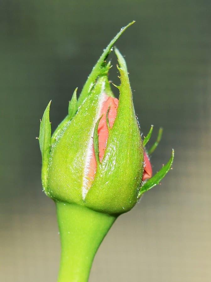 Close up bud of rose. Macro photo of bud rose. Pure beautiful rose bud. Macro photo of gorgeous flower. Indoor vertical photo stock image