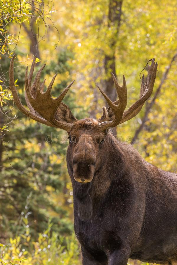 Bull Siras Moose Close Up. A close up of a bull shiras moose in the fall rut in Wyoming royalty free stock images