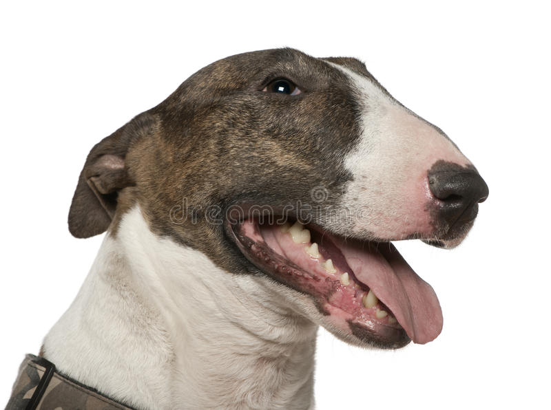Close-up of Bull Terrier, 5 years old stock photo