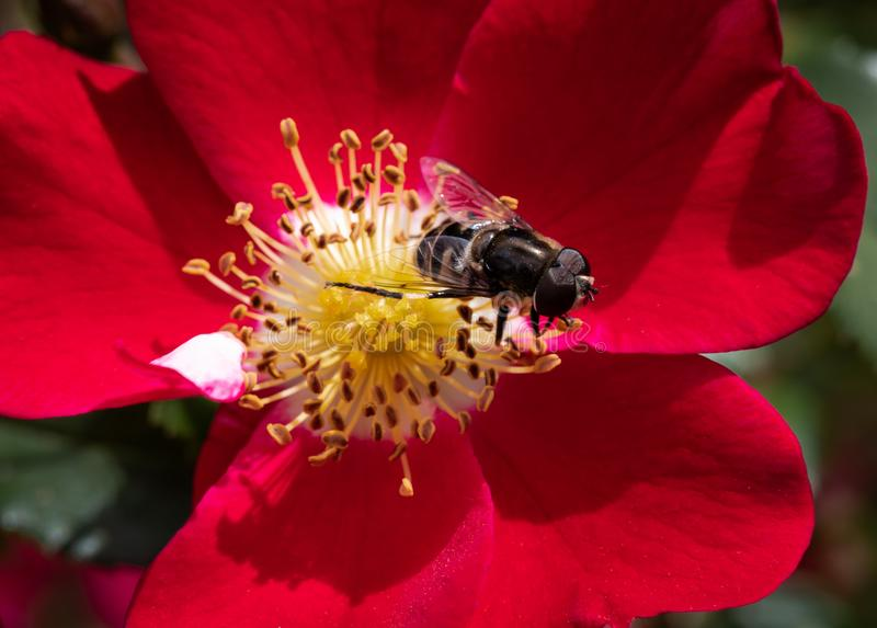 Close-up of bumble bee, Bombus, pollinating red hybrid shrub rose Oso Easy Cherry Pie in selective focus royalty free stock image
