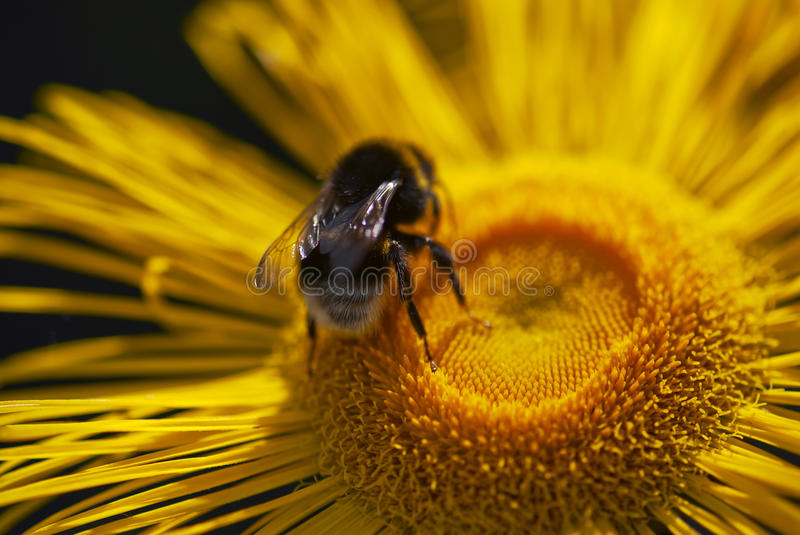 Download Close Up Of Bumble-bee Landing On A Yellow Daisy Stock Photo - Image: 29635870
