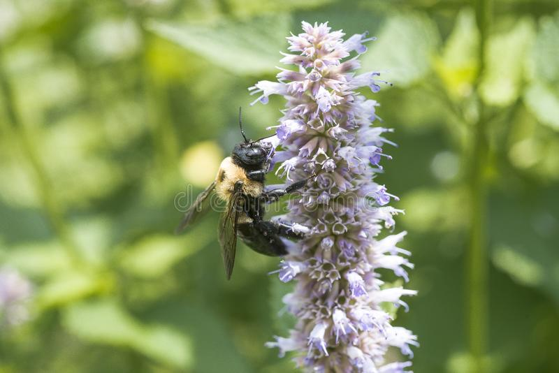 Close up of bumblebee on Anise Hyssop flower stock image