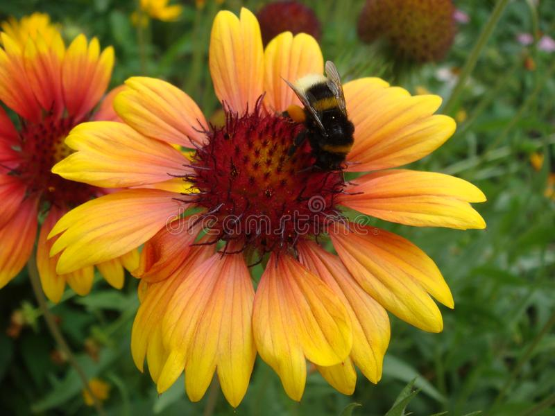 Close up of a Bumblebee feeding on a Yellow and orange Gallardia Flower royalty free stock image