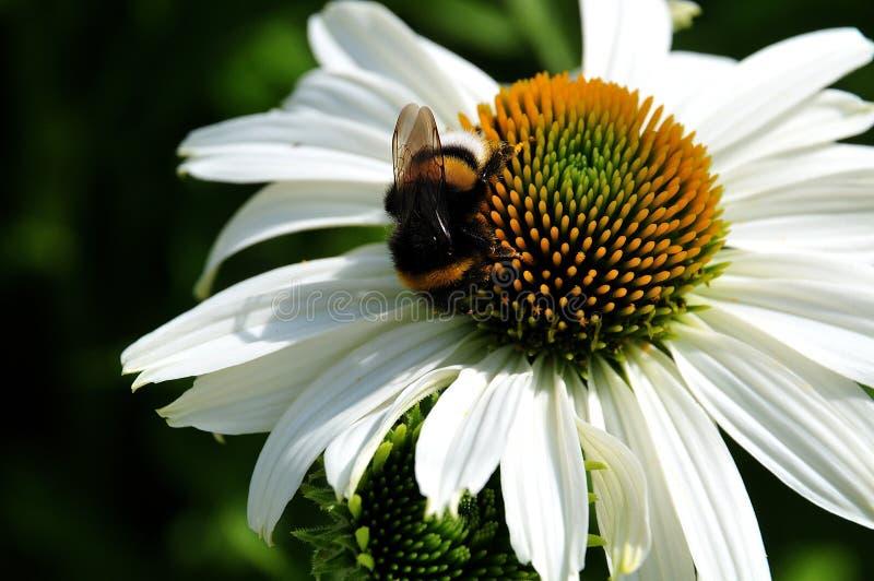 Bumblebee on white coneflower stock photo