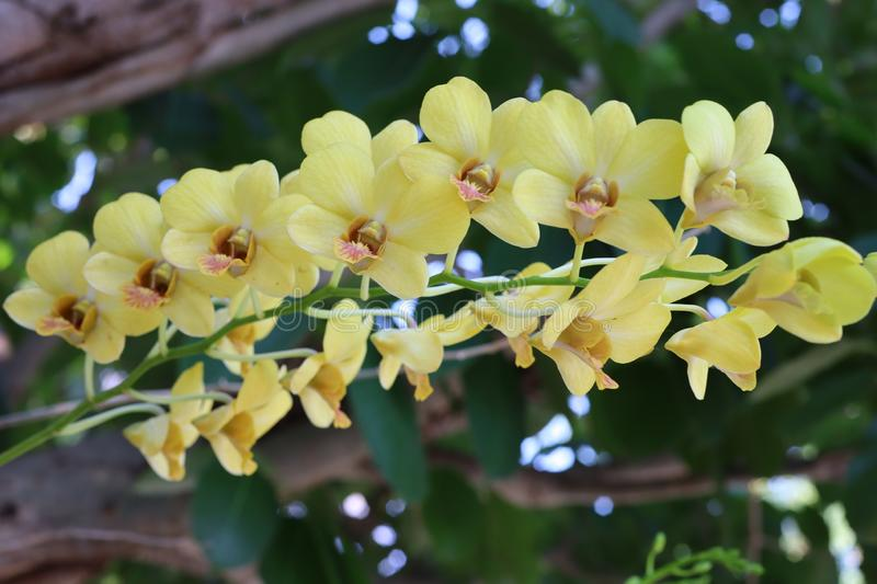 Close-up bunch of beautiful yellow orchid flowers, natural background.  stock photos