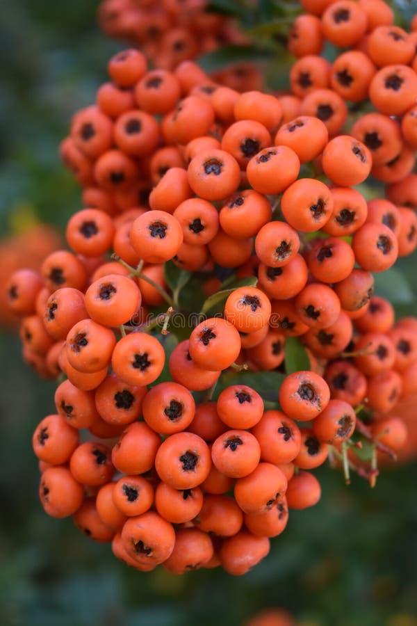 Bright Orange Colored Berries at Kathryn Albertson Park stock image