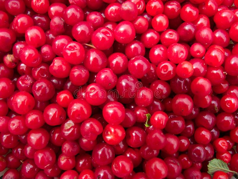 Close-up of a bunch of red cherries royalty free stock images