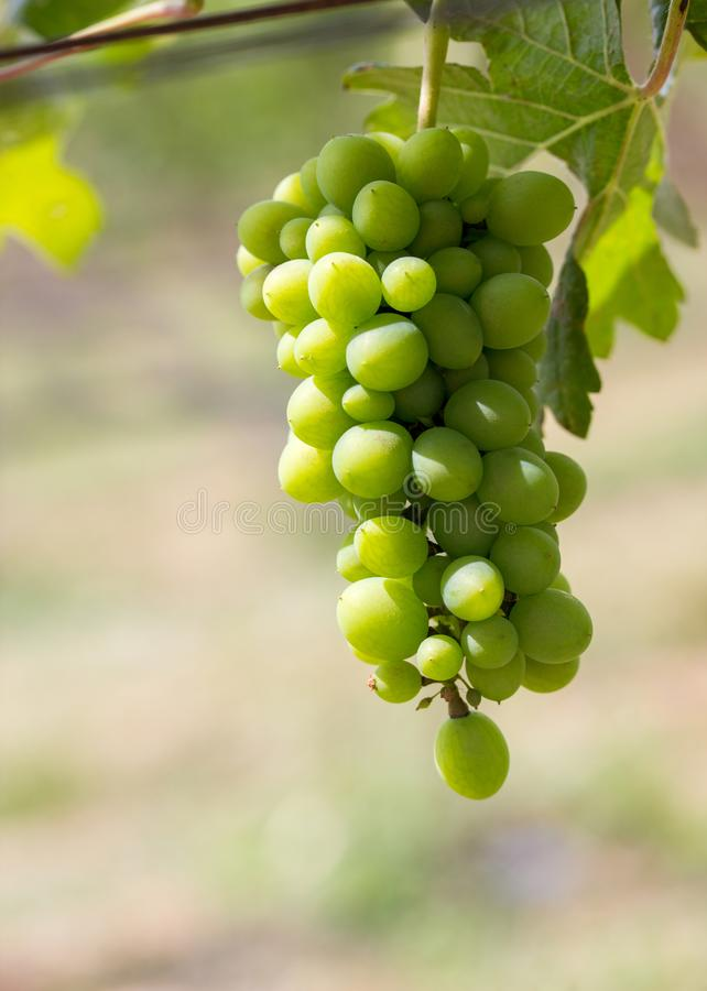 Close up Bunch of fresh green grapes. Green sunny leaves on the background.In the garden stock photography