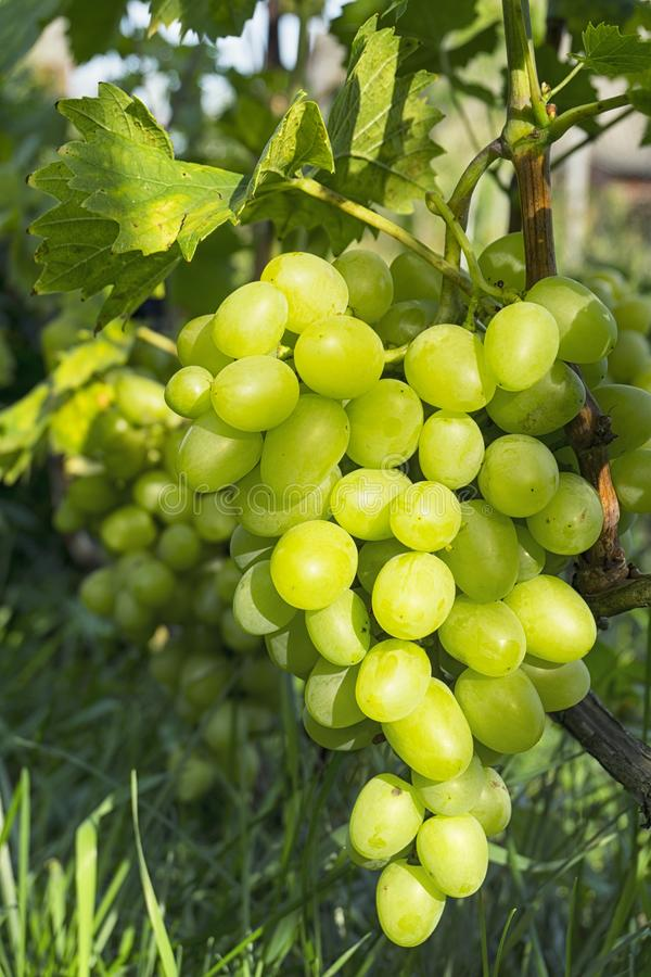 Close up Bunch of fresh green grapes on the vine with green leaves in vineyard.  royalty free stock photo
