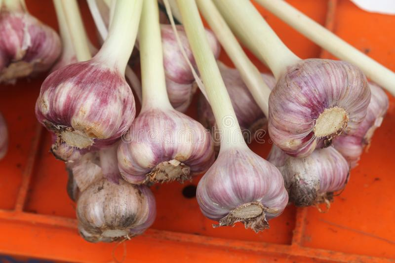 Bunch of fresh garlic heads. Close-up of a bunch of fresh ripe garlic heads lying on a plastic box stock image