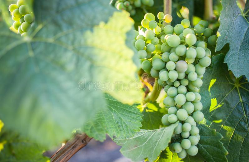 Bunch of grapes in vineyard stock photos