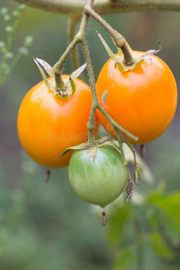 French Close up of a bunch of growing yellow tomatoes royalty free stock photo