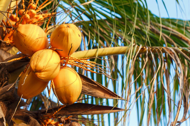 Close up a bunch of yellow coconut. Close up a bunch of yellow coconut at tree royalty free stock image