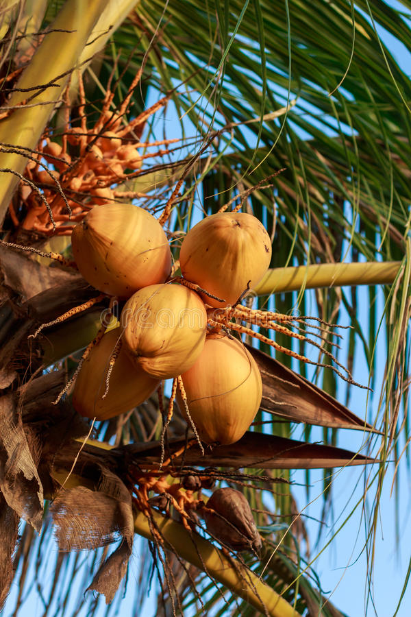 Close up a bunch of yellow coconut. Close up a bunch of yellow coconut at tree stock photo