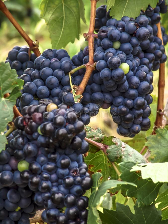 Close-up of bunches of ripe red wine grapes on vine with selective focus in São Francisco River Valley stock images