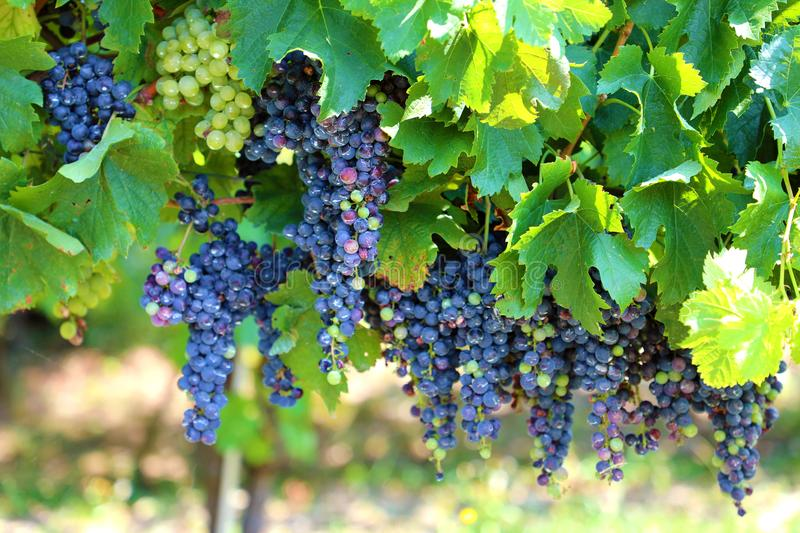 Close-up of bunches of unripe red wine grapes on vine, selective focus. Grape vineyard royalty free stock photography