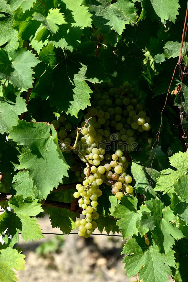 Bunches of white grapes with leaves royalty free stock image