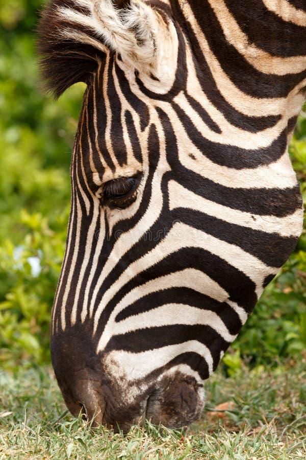 Close up of a Burchells Zebra eating stock image