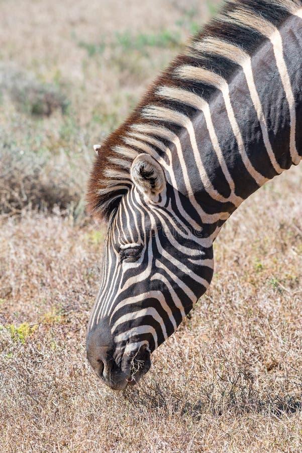 Close-up of a Burchells zebra grazing royalty free stock photo