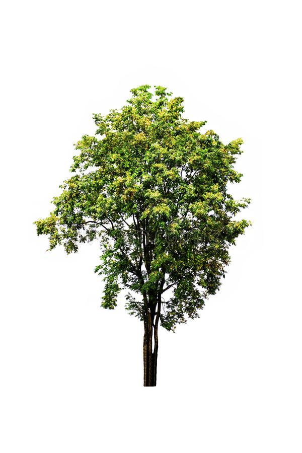 Close up Burma padauk tree growing up in the countryside of Thailand isolated on white. royalty free stock images