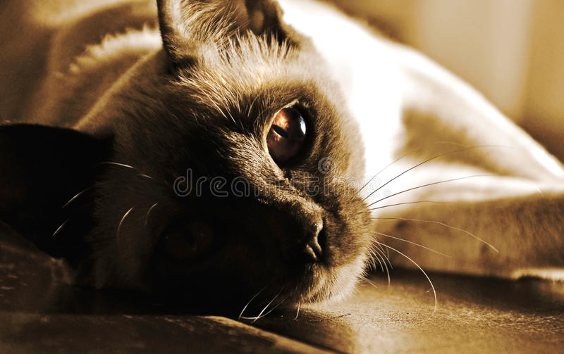 Close-up Burmese cats amber eyes ~ I am watching you ! stock photos