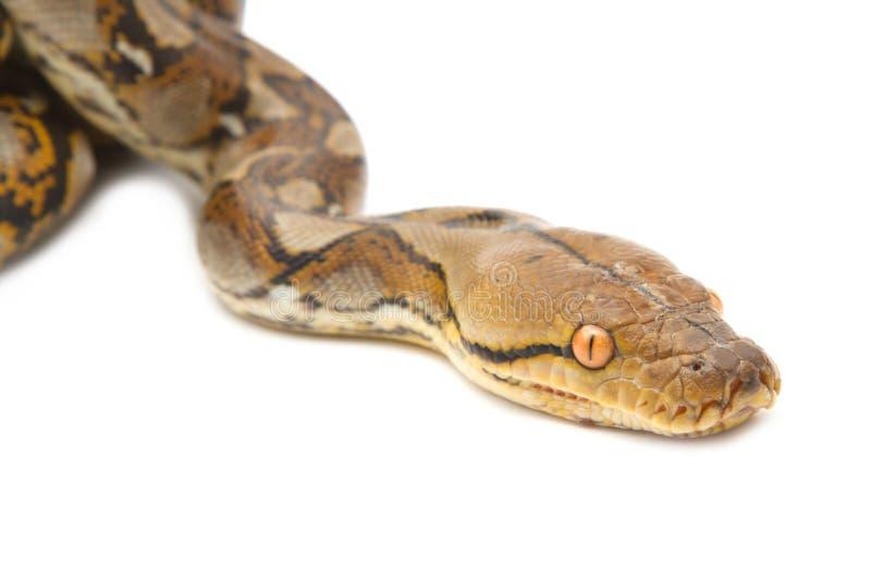 Close up of Burmese Python. Isolated stock image