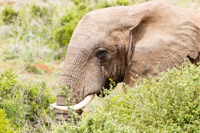 Close up of a Bush Elephant's face stock photos
