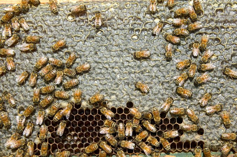 Close up of busy honey bees on hive honeycomb royalty free stock photos
