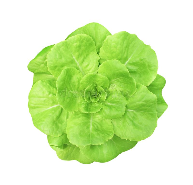 Butter head lettuce organic top view isolated on white background with clipping path royalty free stock images