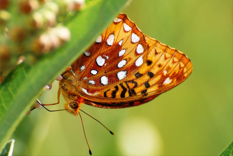 Close up of a butterfly behind a flower royalty free stock photo