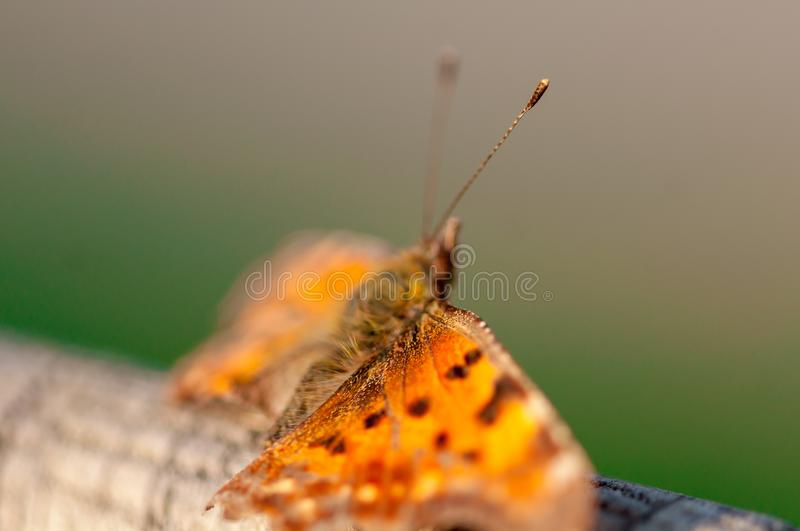 Close-up of a butterfly. With broken wings. The Queen of Spain fritillary. Issoria lathonia. Selective focus royalty free stock photo
