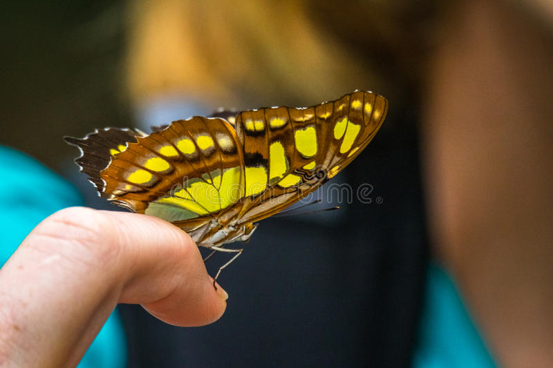 Close Up of Butterfly on a Finger royalty free stock photos