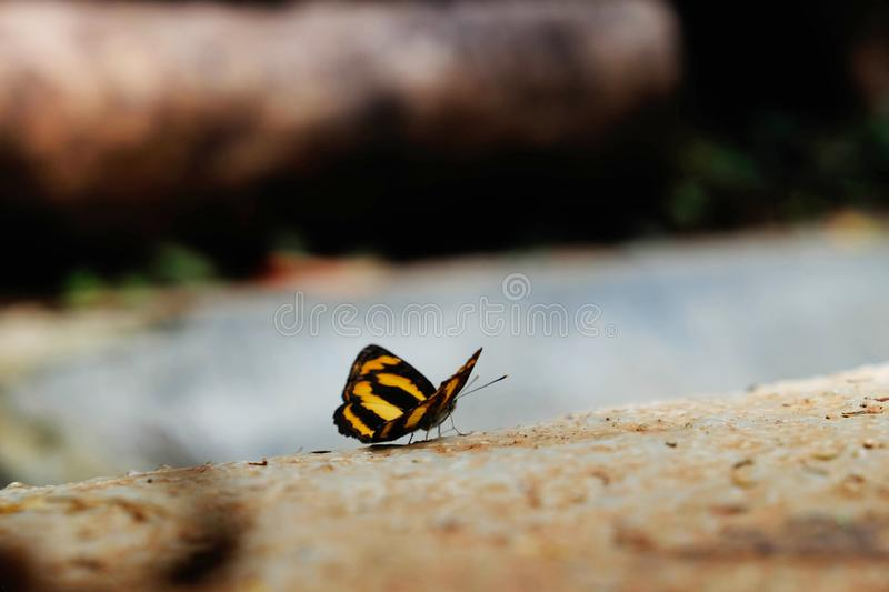 Close-up of a butterfly with a yellow and black striped pattern.  royalty free stock photo