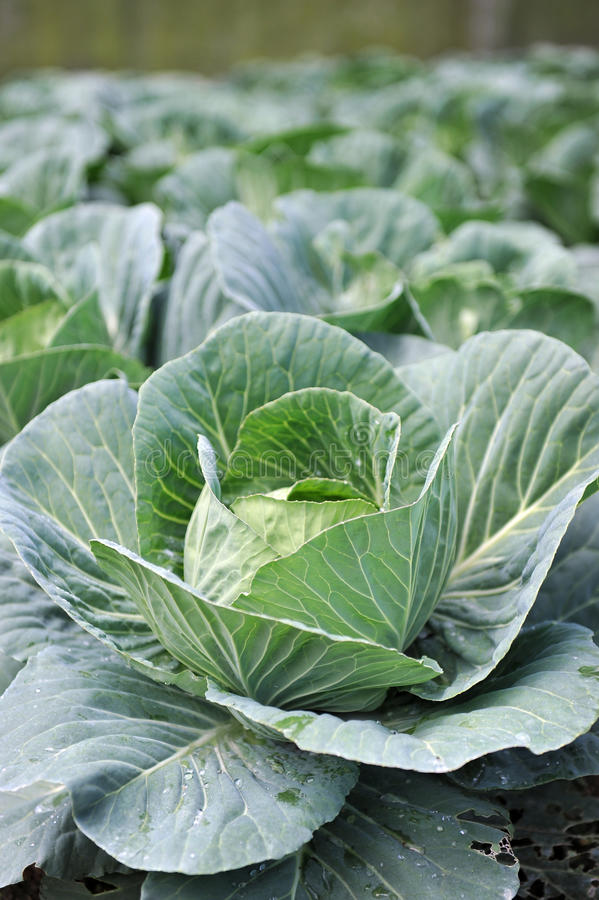Close up of cabbage stock photography