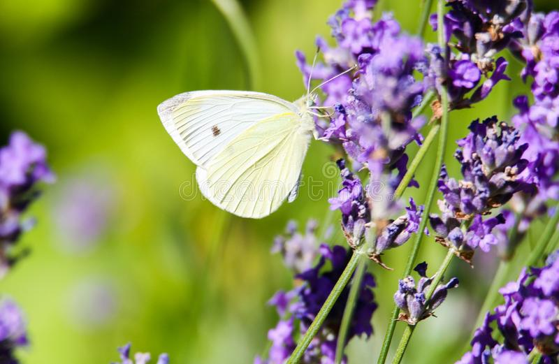 Close up of cabbage white butterfly Pieris brassicae on lilac lavender stock photography