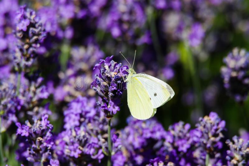 Close up of cabbage white butterfly Pieris brassicae on lilac lavender royalty free stock photo