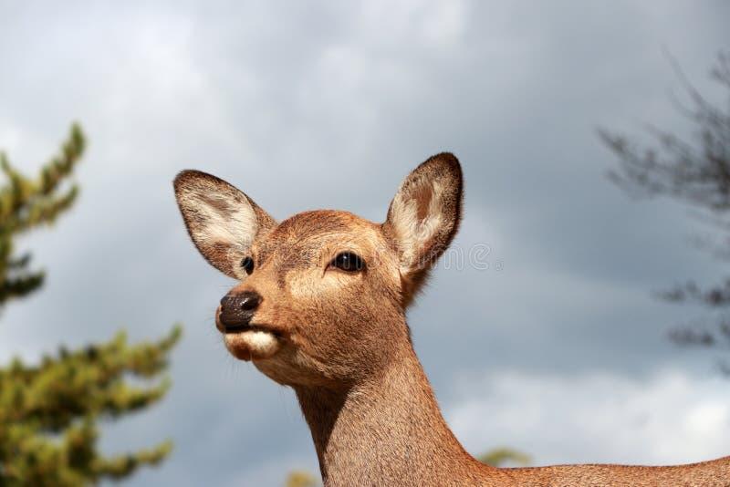 Close up a cabeça dos cervos na luz solar no fundo do céu no parque em Nara, Japão fotografia de stock