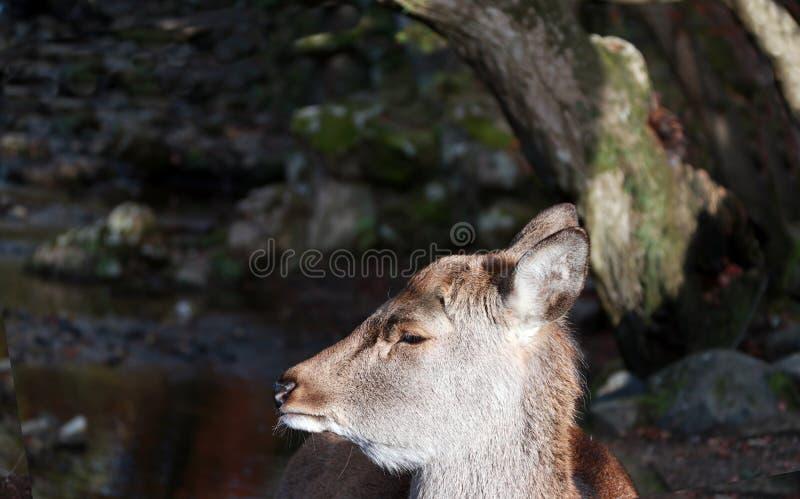 Close up a cabeça dos cervos na luz solar no parque em Nara, Japão imagens de stock