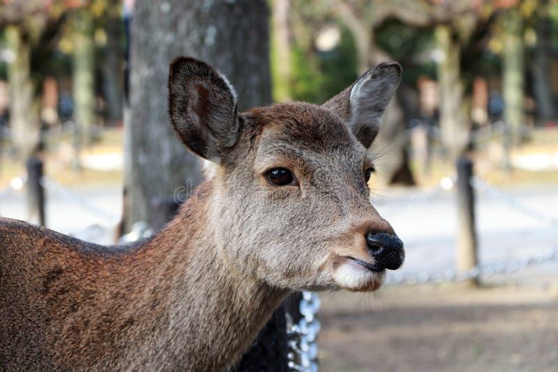 Close up a cabeça dos cervos no fundo do borrão no parque em Nara, Japão fotos de stock