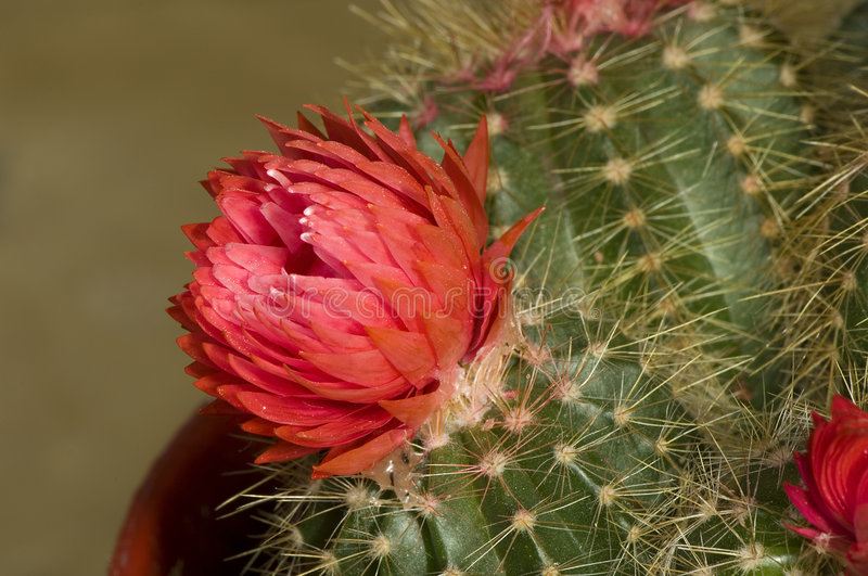 Close up of cactus blossom stock photography