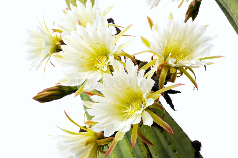 Download Close up of cactus flowers stock image. Image of color - 15229423