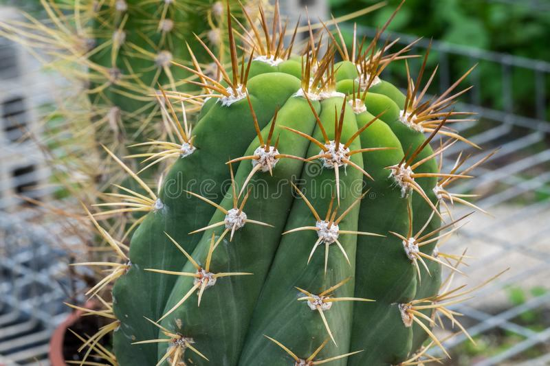 Close-up of cactus grown at greenhouse royalty free stock image